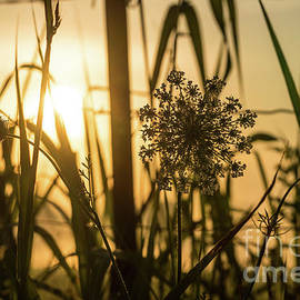 Backlit Queens Annes Lace by Jennifer White
