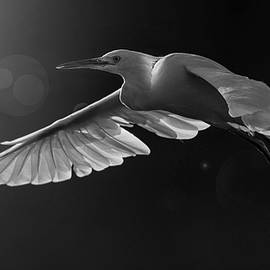 Backlit Snowy Egret. by Paul Martin