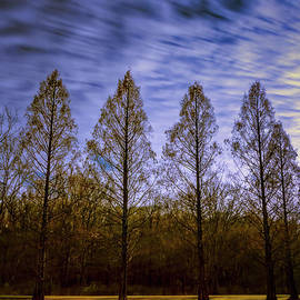 Bald cypress trees by Joseph Miko