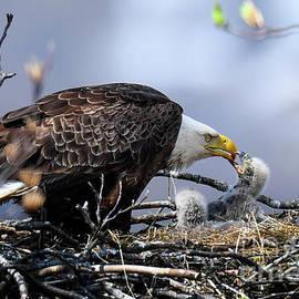 Bald Eagle Feed Baby B-Ba 044 by Wei Tang