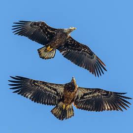 Bald Eagle Flight #10 by Morris Finkelstein