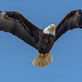 Bald Eagle Flight #11 by Morris Finkelstein