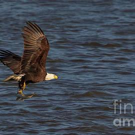 Bald Eagle Flying Fish by Teresa Jack
