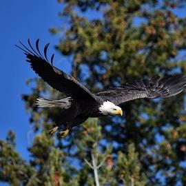 Bald Eagle in Flight by Dana Hardy