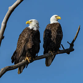 Bald Eagle mated pair on a branch by William Krumpelman