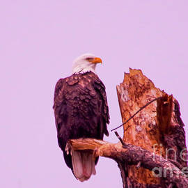 Bald eagle on a snag by Jeff Swan