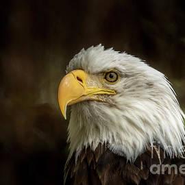 Bald Eagle Portrait 30 by Mitch Shindelbower