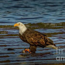 Bald Eagle Profile 5 by Mitch Shindelbower