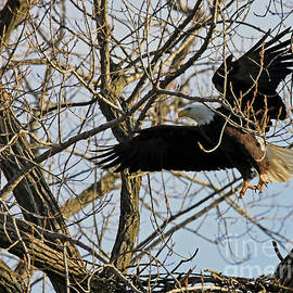 Bald Eagle Returning To The Nest 260 by Steve Gass