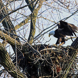 Bald Eagle Returning To The Nest 272 by Steve Gass