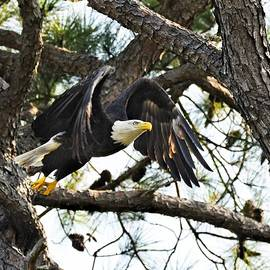 bald eagle  Time to get breakfast take off