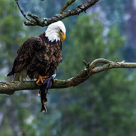 Bald eagle with a fish on a limb by Jeff Swan