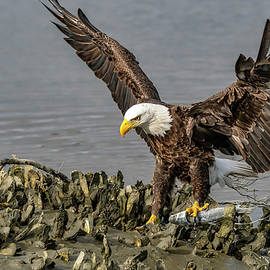 Bald Eagle with a Fish by TJ Baccari
