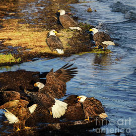 Bald Eagles British Columbia by Bob Christopher