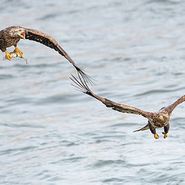 Bald Eagles Fight For Fish by Rehna George