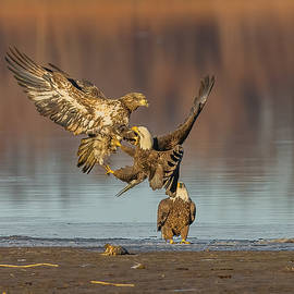 Bald Eagles Fighting #1 by Morris Finkelstein