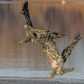 Bald Eagles Fighting #2 by Morris Finkelstein