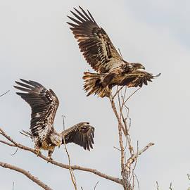 Bald Eagles In Springtime by Morris Finkelstein