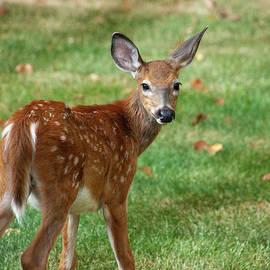Bambi Looking Back by Karol Livote