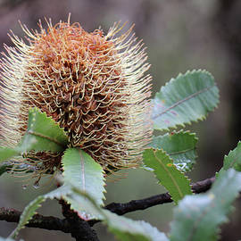 Banksia by the trail by Alison A Murphy
