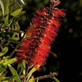 Bottlebrush - Canberra _ Australia by Steven Ralser