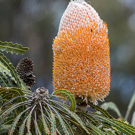 Banksia Flower Orange by Deane Palmer