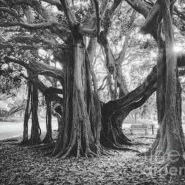 Banyan Trees in Heritage Park, Venice, Florida at Golden Hour BW by Liesl Walsh