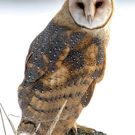 Barn Owl Stare by Mike Dawson