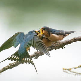 Barn Swallow Feeding Her Babies by Jackie Follett