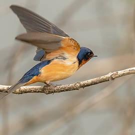 Barn Swallow Ready For Flight by Morris Finkelstein