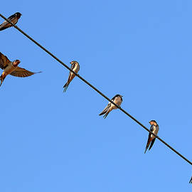 Barn Swallows Online - Join the Club by Peggy Collins