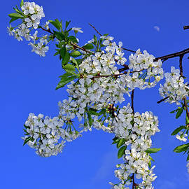 Branch with white cherry blossoms by Tibor Tivadar Kui