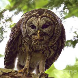Barred Owl Breakfast by Douglas Stucky