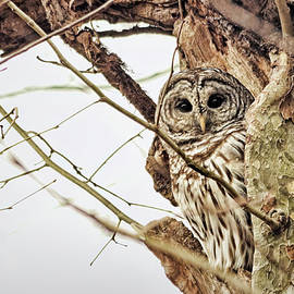 Barred Owl in Sycamore by Francis Sullivan