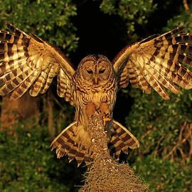 Barred Owl Landing by MaryJane Sesto