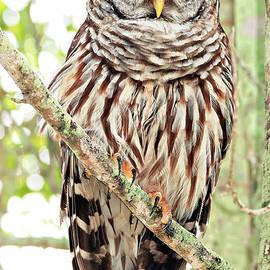 Barred Owl Maximus by Felipe Correa