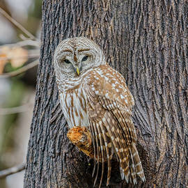 Barred Owl Perched #3 by Morris Finkelstein