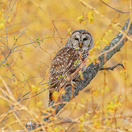 Barred Owl Perched #4 by Morris Finkelstein