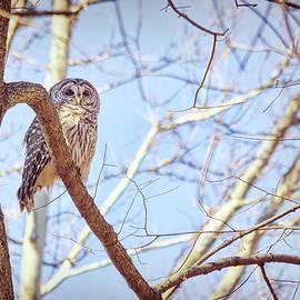 Barred Owl Posing by Francis Sullivan