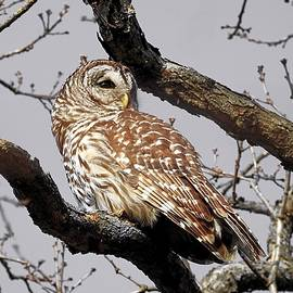 Barred Owl Visitor in Selective by Carmen Macuga