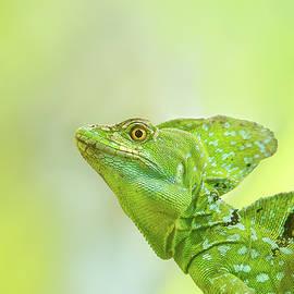 Basiliscus the Jesus Lizard by Roeselien Raimond