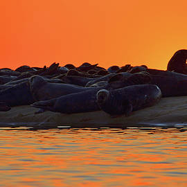 Lounging Seals by Dianne Cowen