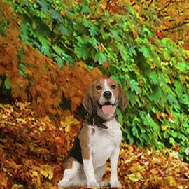 Beagle Sitting in Autumn Leaves - DWP1563257 by Dean Wittle