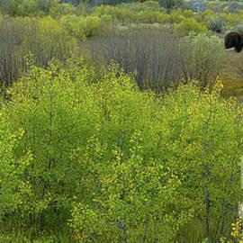Bears, one with a salmon in El Dorado National Forest, California, U. S. A. by PROMedias