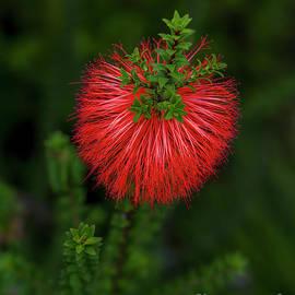 Beaufortia Sparsa - Gravel Bottlebrush by Elaine Teague