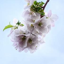 Beautiful Apple Blossoms by Dana Hardy