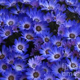Beautiful Blue Cinerarias by Kathryn Jones