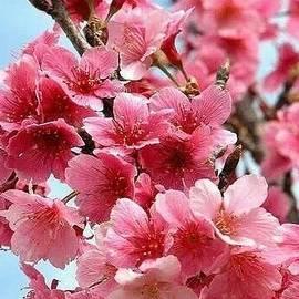 Beautiful Cherry Blossom... by Kusum Lata Verma