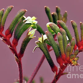 Beautiful close up of Australian red and green Kangaroo Paw flower, against a pink purple background by Milleflore Images