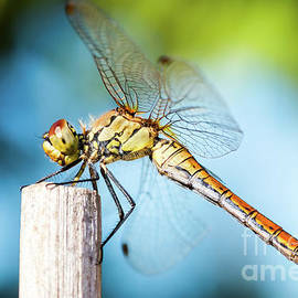 Beautiful colorful dragonfly insect resting on dried bamboo stick in summer taken in macro by Gregory DUBUS